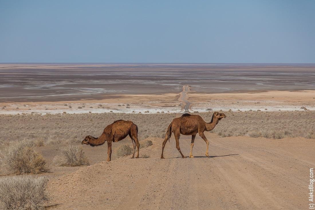 Иран пустыня верблюд