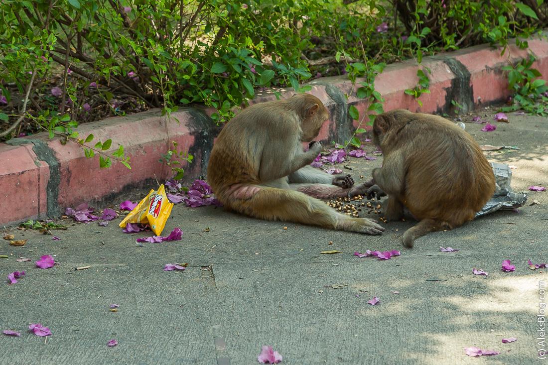 Индия обезьяны