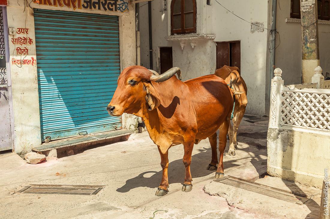 Индия коровы